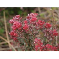 Adenanthos Coral Carpet, Woolly Bush