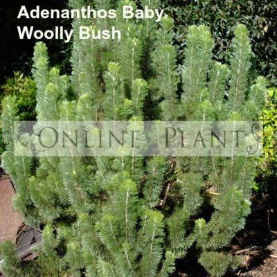 Adenanthos, Baby Woolly Bush