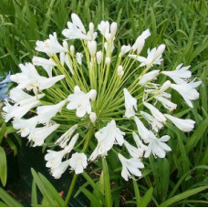 Agapanthus Orientalis White