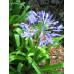 Agapanthus Orientalis Blue