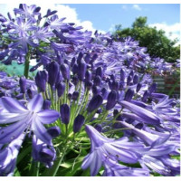 Agapanthus Purple Magic