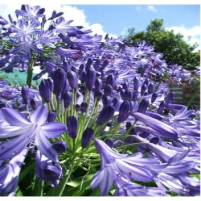 Agapanthus Purple Magic