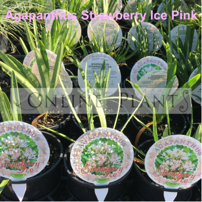 Agapanthus Strawberry Ice Pink