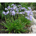 Agapanthus Baby Blue