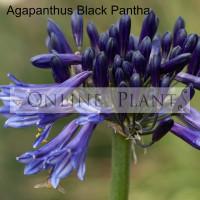 Agapanthus Black Pantha