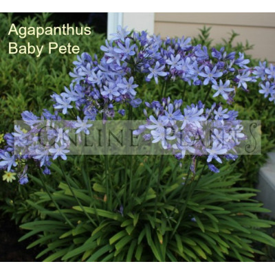 Agapanthus Baby Pete