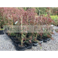 Agonis Burgundy, Willow Myrtle