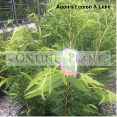 Agonis Lemon and Lime