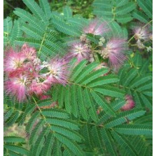 Albizia julibrissin rosea, Silk Tree