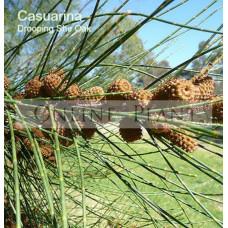 Casuarina Verticillata, Drooping She-Oak