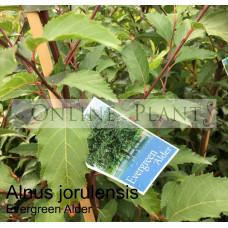 Alnus Jorulensis Evergreen Alder