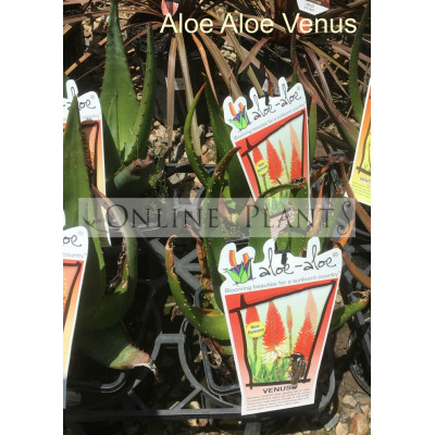 Aloe Aloe Venus
