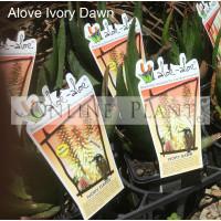 Aloe Aloe Ivory Dawn