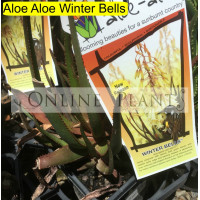 Aloe Aloe Winter Bells