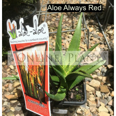 Aloe Aloe Always Red