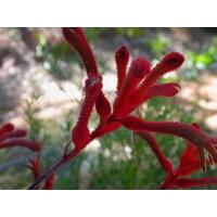 Anigozanthos Flavidus Red, Kangaroo Paw