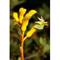 Anigozanthos Flavidus Yellow, Kangaroo Paw