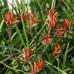 Anigozanthos Orange Cross, Kangaroo Paw