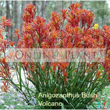 Anigozanthos Bush Volcano, Kangaroo Paw