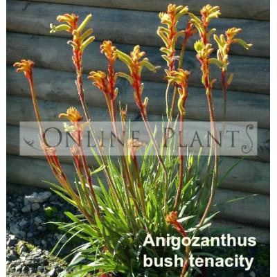 Anigozanthos Bush Tenacity, Kangaroo Paw