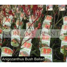 Anigozanthus Bush Ballad