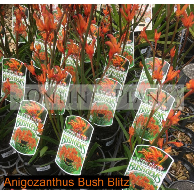 Anigozanthos Bush Blitz, Kangaroo Paw