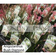 Anigozanthos Bush Diamond, Kangaroo Paw