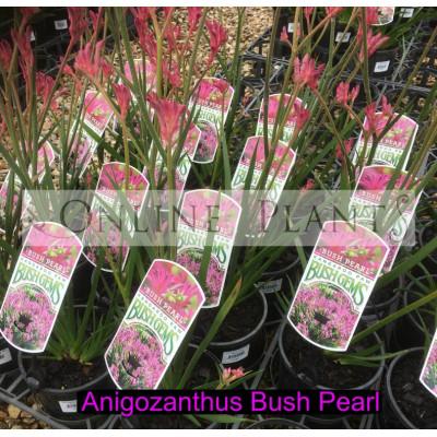 Anigozanthos Bush Pearl, Kangaroo Paw
