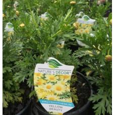 Argyanthemum Beauty Yellow, Daisy