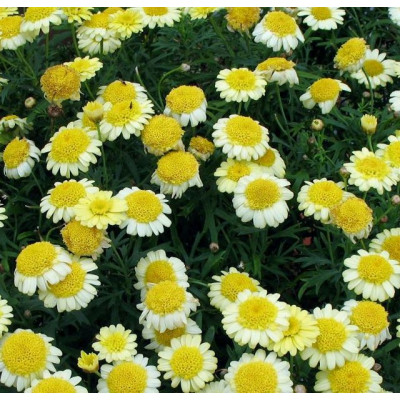 Argyanthemum pom pom yellow Daisy