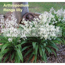 Arthropodium cirratum, Renga Lilly