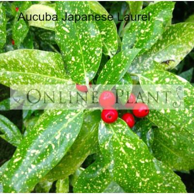 Aucuba Japonica Variegated, Japanese Laurel