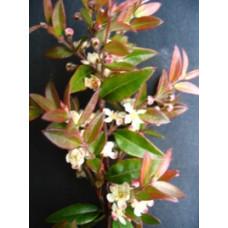 Austromyrtus Copper tops