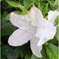 Azalea Alba Magnifica