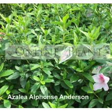 Azalea Alphonse Anderson
