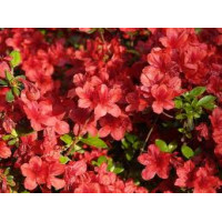 Azalea Kurume, Fire Magic