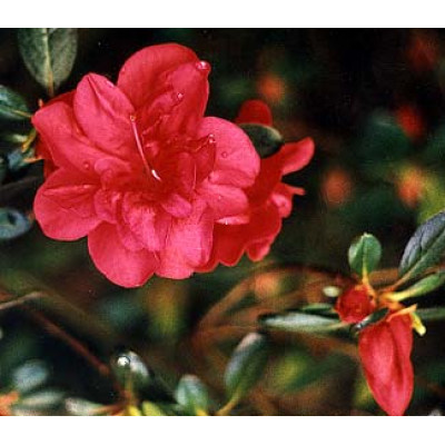Azalea Kurume, Mother's Day