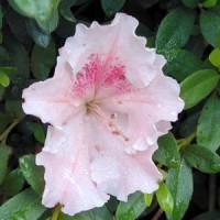 Azalea Pink Lace