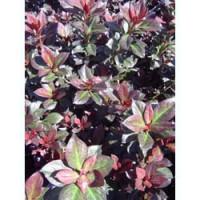Azalea Plumtastic