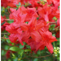 Azalea Super Red