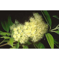Backhousia myrtifolia Grey Myrtle