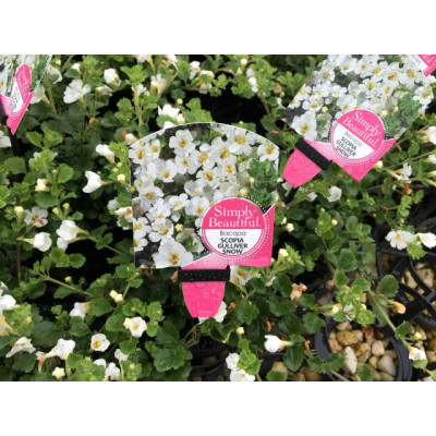 Bacopa Gulliver Snow