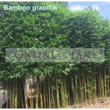 Bamboo gracilis