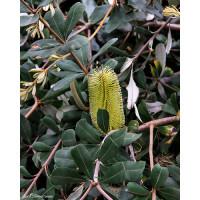 Banksia Integrifolia, Prostrate Coast banksia