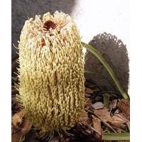 Banksia Petiolaris Creeping Banksia