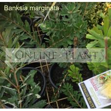 Banksia marginata, Silver Banksia
