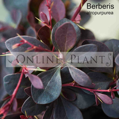 Berberis atropurpureum Purple Barberry