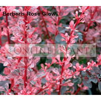 Rose Glow Berberis
