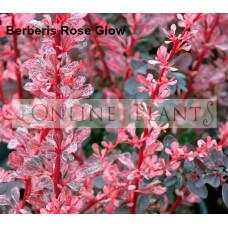 Rose Glow Berberis