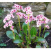Bergenia cordifolia, Pink Dragonfly